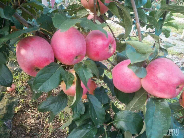 广元苹果树苗