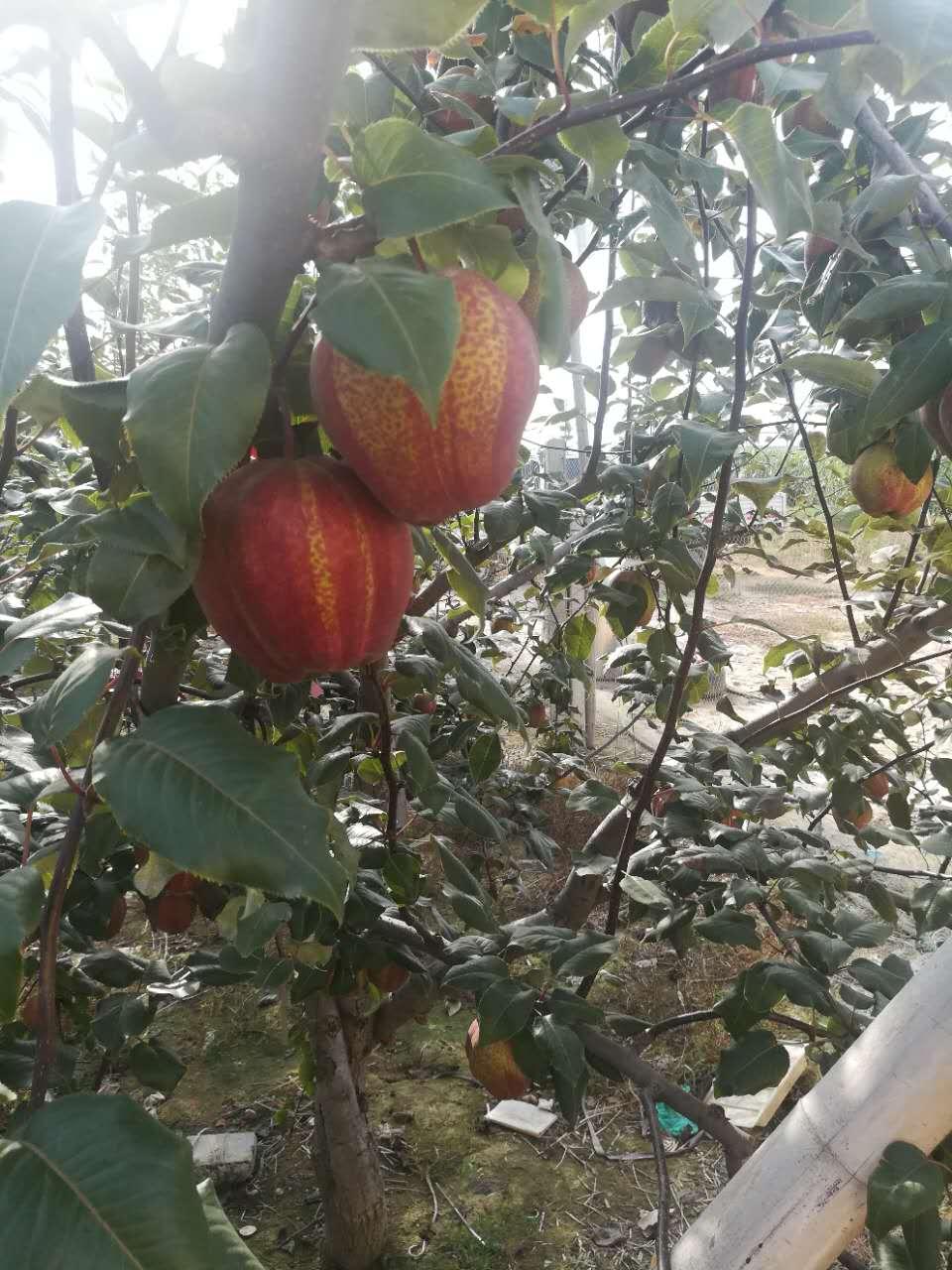 大兴安岭金果梨树苗新品种