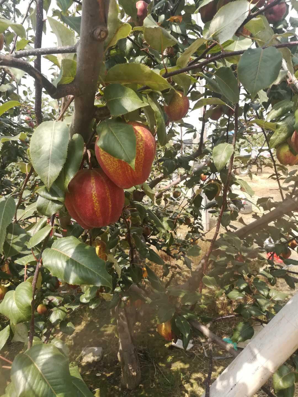 永州香梨梨树苗基地