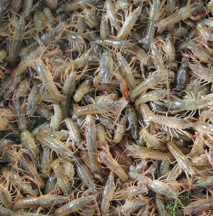 攀枝花淡水小龙虾苗养殖技术培训