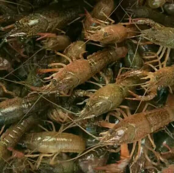 凉山小龙虾苗特种水产养殖