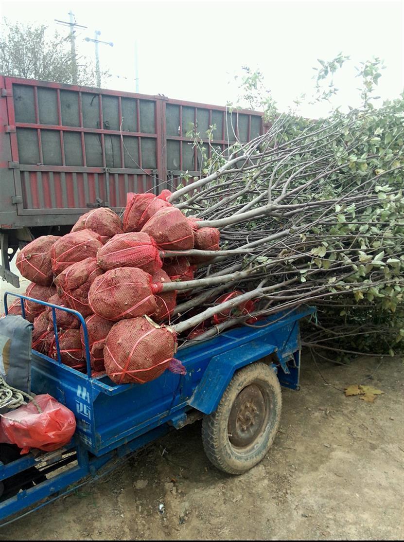 6公分山西苹果树供应商