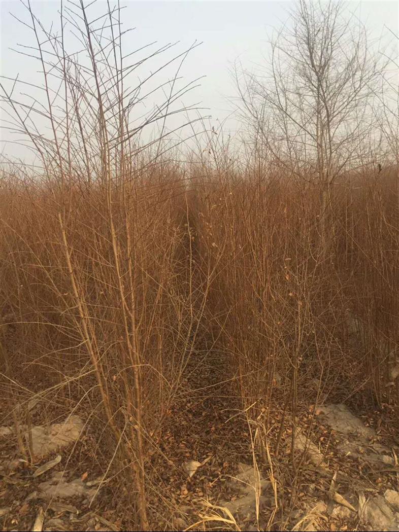 济宁小榆树苗基地