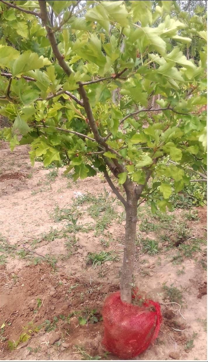 绛县10公分山楂树