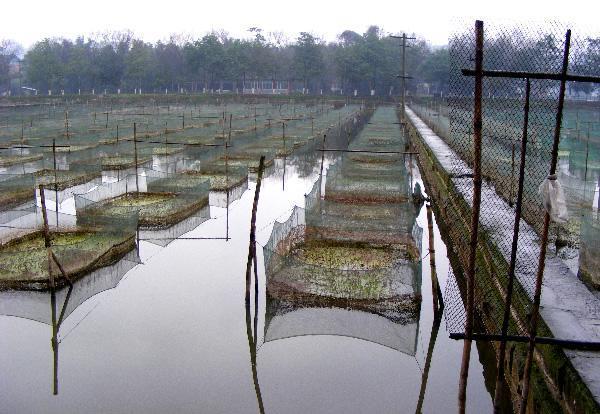 孝感泥鳅养殖成本