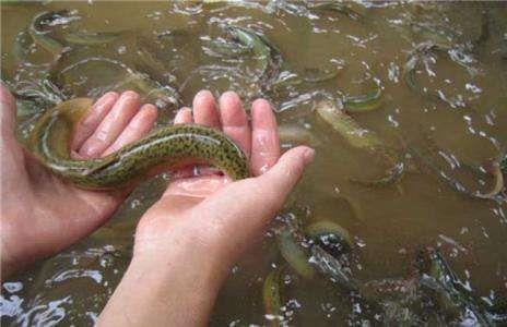 丽水泥鳅收购