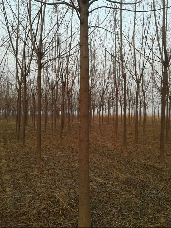 12公分苦楝树厂商