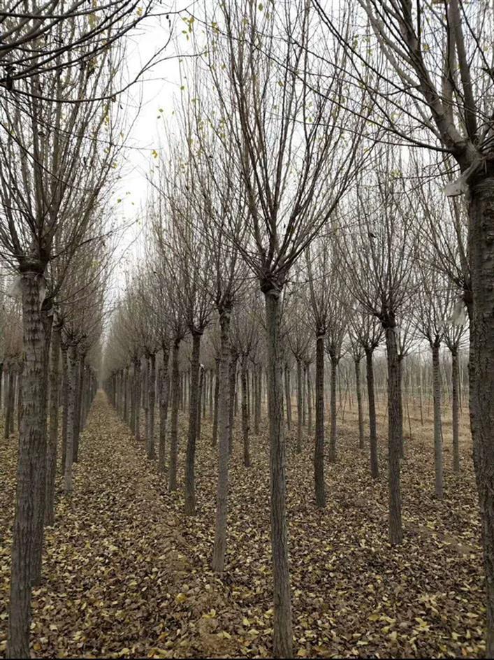 12公分圆冠榆厂