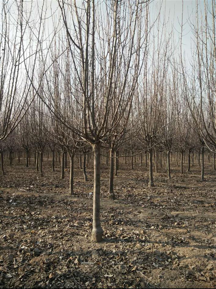 天津14公分北美海棠树苗价格