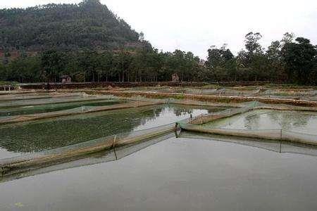 大连泥鳅养殖