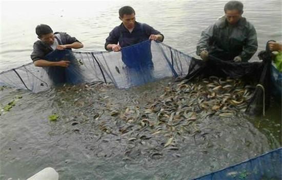 新疆泥鳅养殖基地