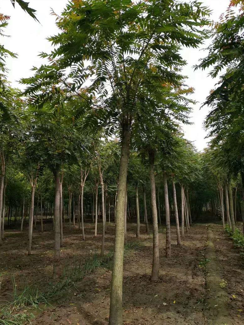 3-10公分臭椿树销售价格