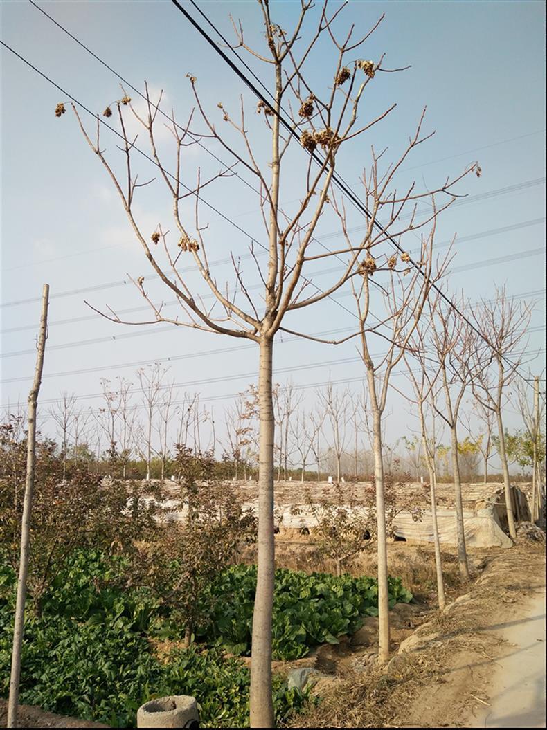 7公分臭椿树批发价格