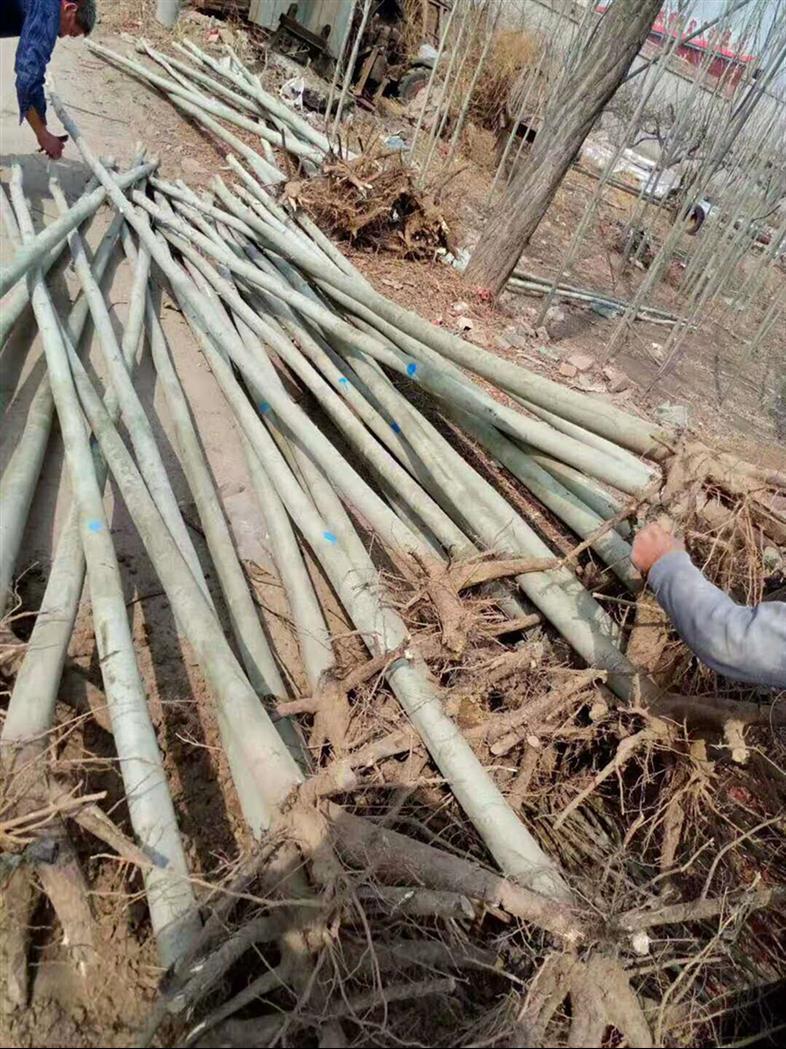 石家庄米径3.5公分毛白杨厂商