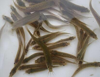 黑龙江野生泥鳅苗价格