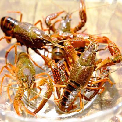 巴中小龙虾养殖