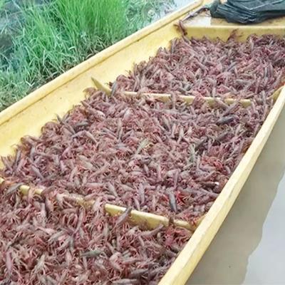 阿坝四川小龙虾养殖基地