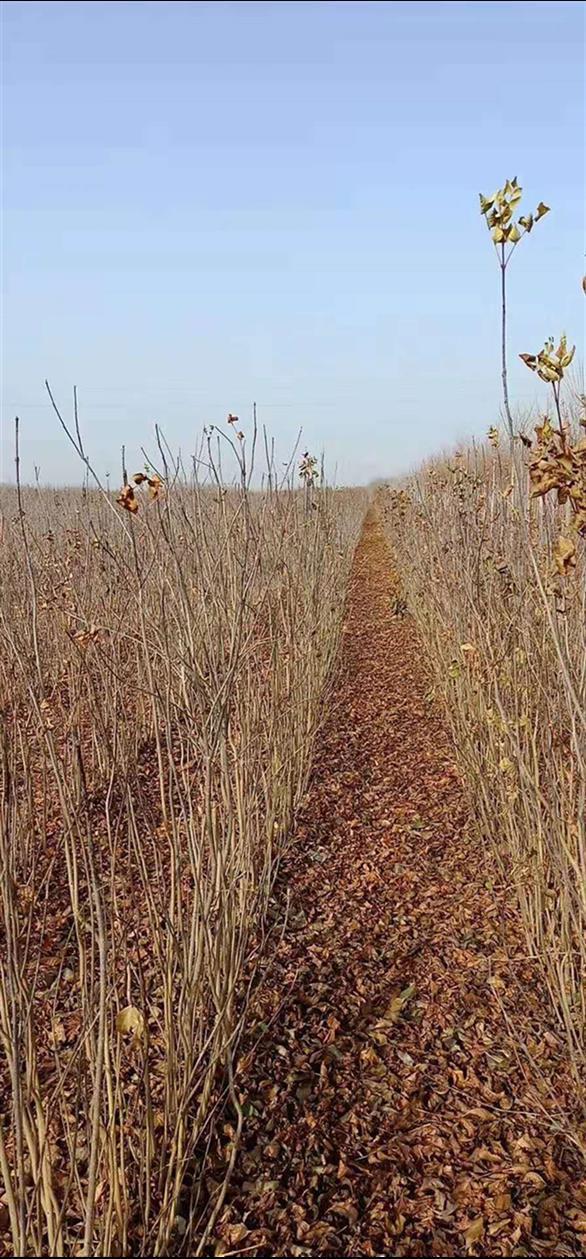 邢台白蜡苗种植基地