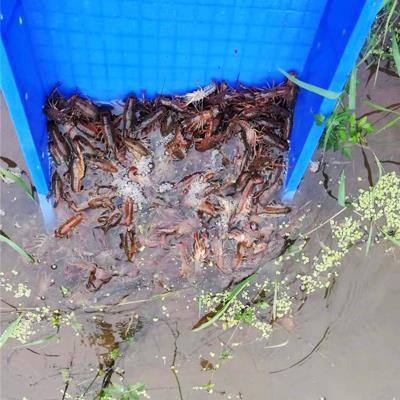 贵州小龙虾苗供应