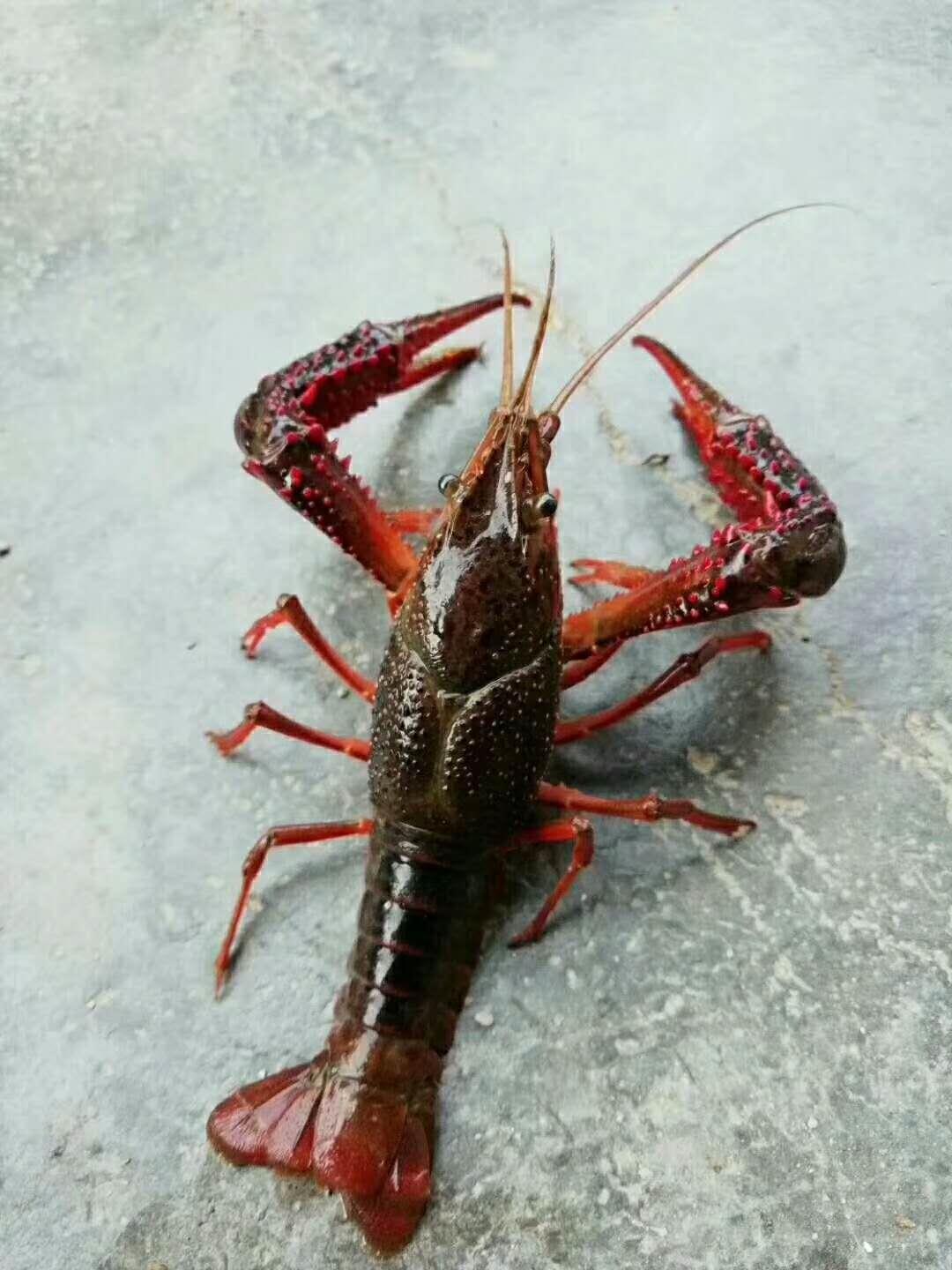 亳州小龙虾