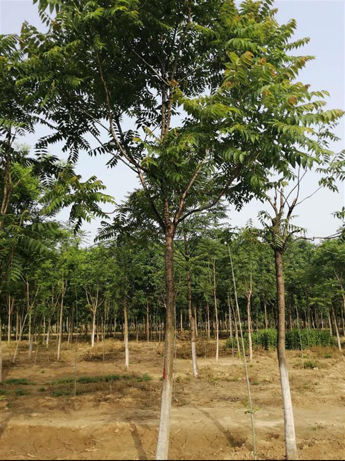 山东10公分千头椿树什么价格