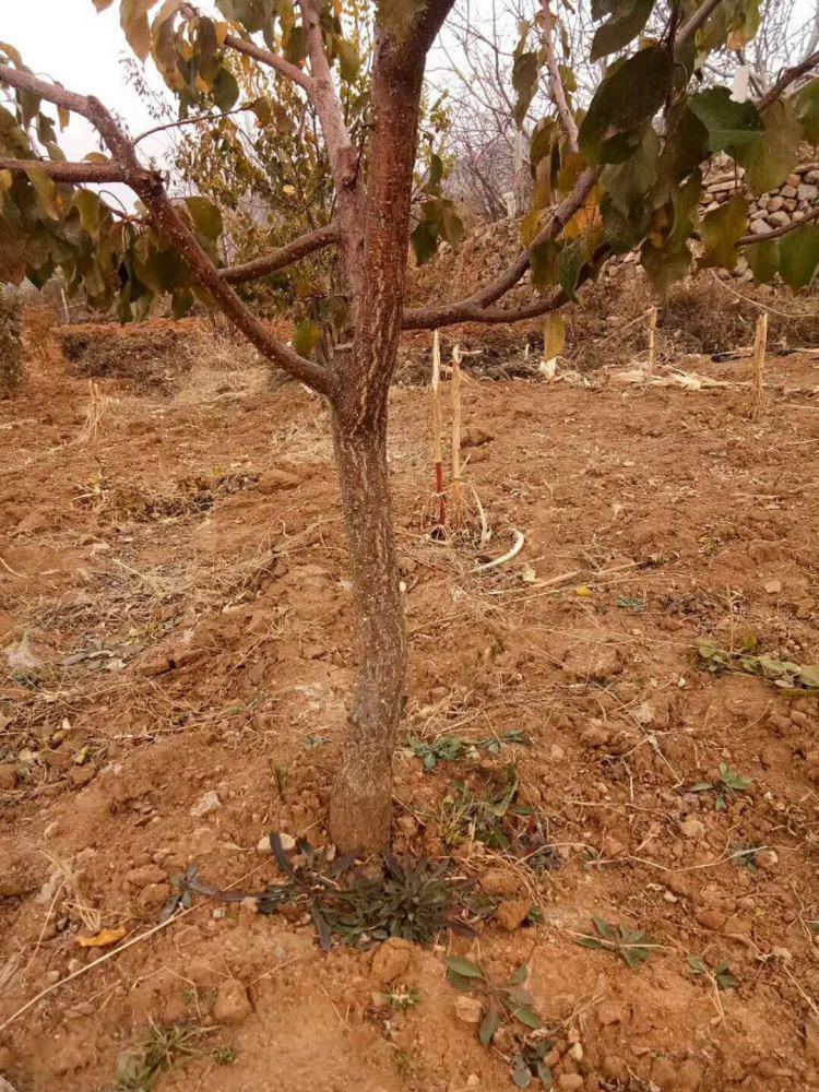 3公分杏树苗新品种