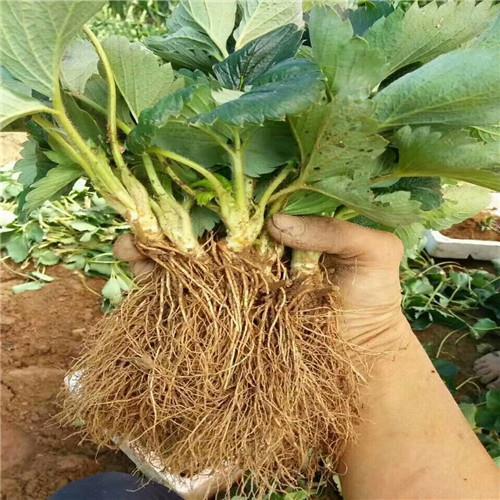 九香草莓苗新品种 质量好产量高