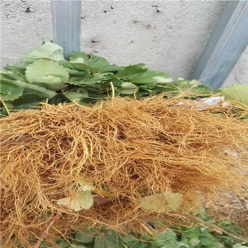 黔莓1号草莓苗一亩地产量多少斤