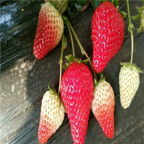 拉松6号草莓苗一亩地产量多少斤