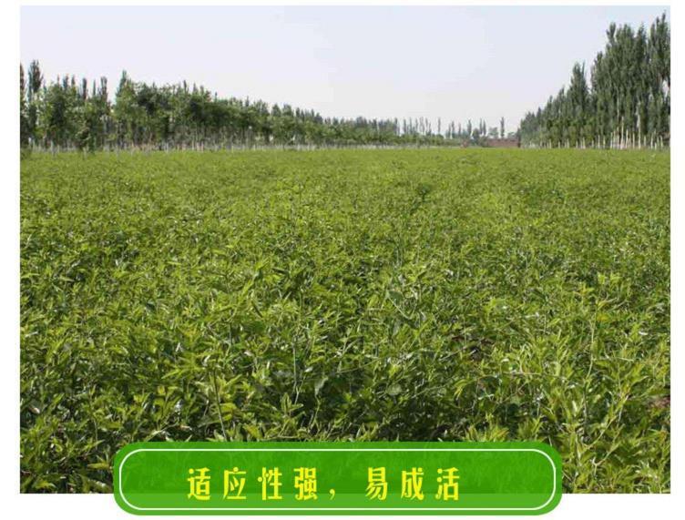 冬枣树苗价格