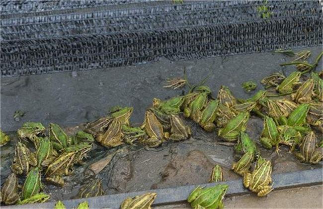 徐州黑斑蛙的养殖周期及养殖经历