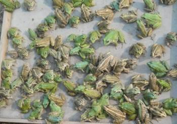 青岛黑斑蛙种苗养殖
