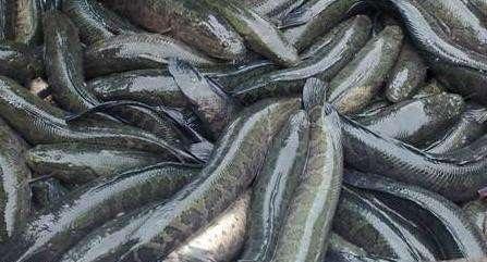 蚌埠供应黑鱼的养殖技术