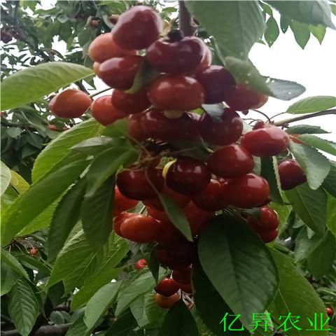早红樱桃苗、美国大红樱桃苗基地