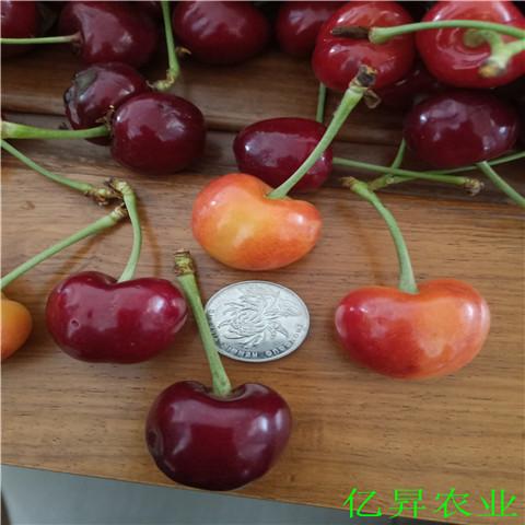 黑兰特樱桃苗基地、矮化罗亚明樱桃苗哪里有卖的
