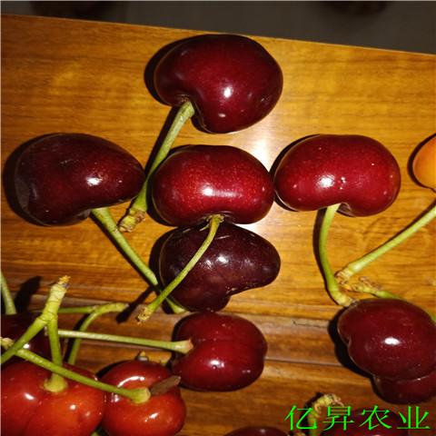 矮化瑞德樱桃苗基地、4年的瑞德樱桃苗批发出售