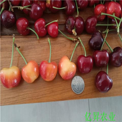 一年矮化樱桃苗怎么分辨真假、两年宾莹樱桃苗基地