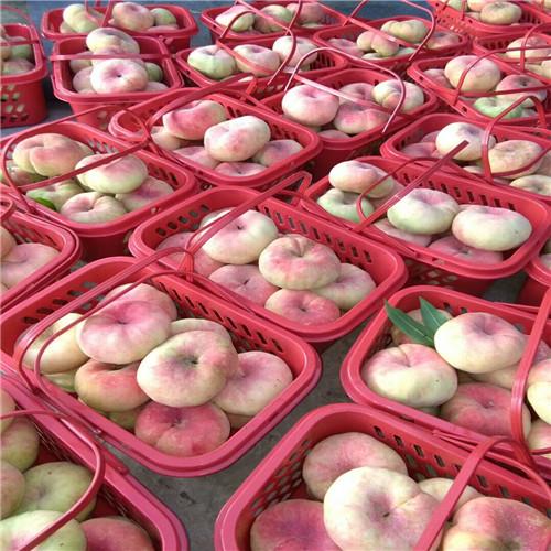 红美桃树苗供应商