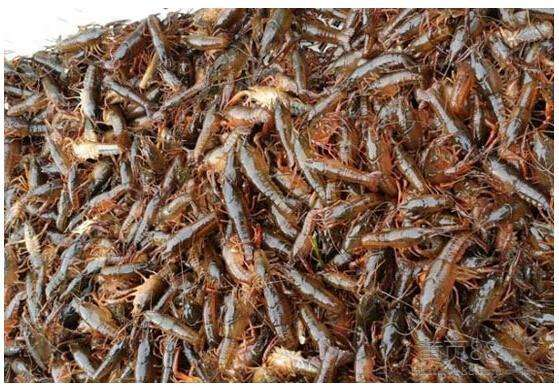 阿坝龙虾种苗养殖基地