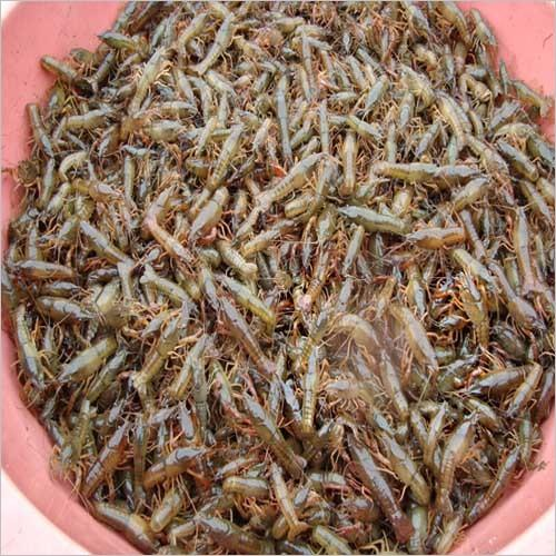 阿坝种虾养殖场