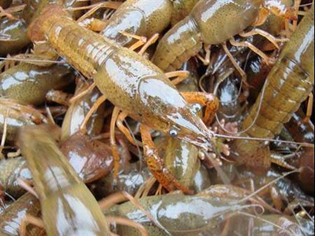 攀枝花龙虾种苗养殖基地