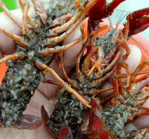 资阳龙虾苗价格