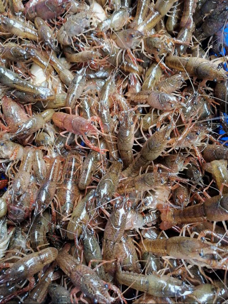 自贡龙虾种苗培育