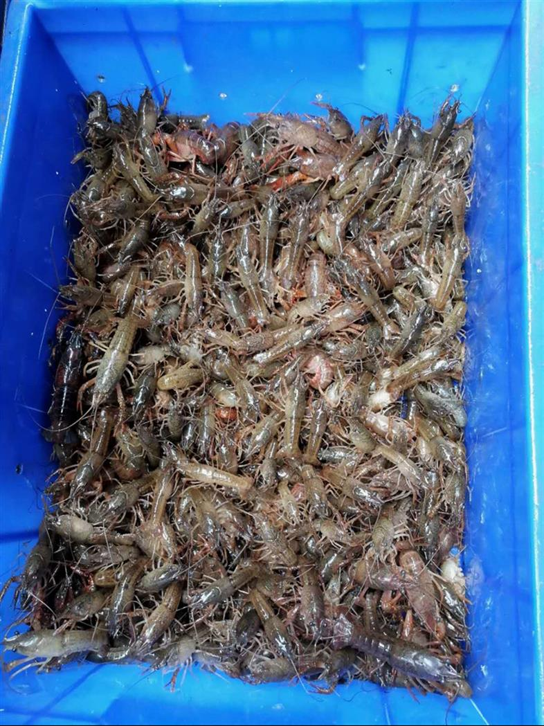 重庆小龙虾种苗批发价格
