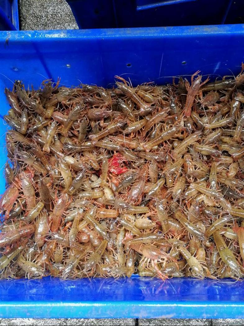 自贡小龙虾种苗价格