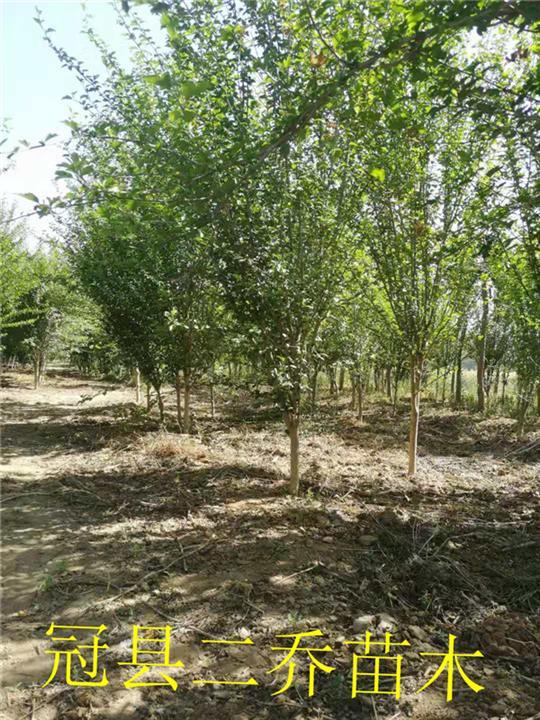 河南木槿树销售价格