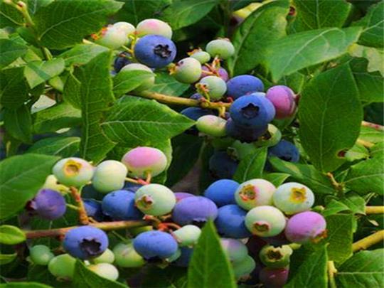 兰州蓝莓苗基地直销