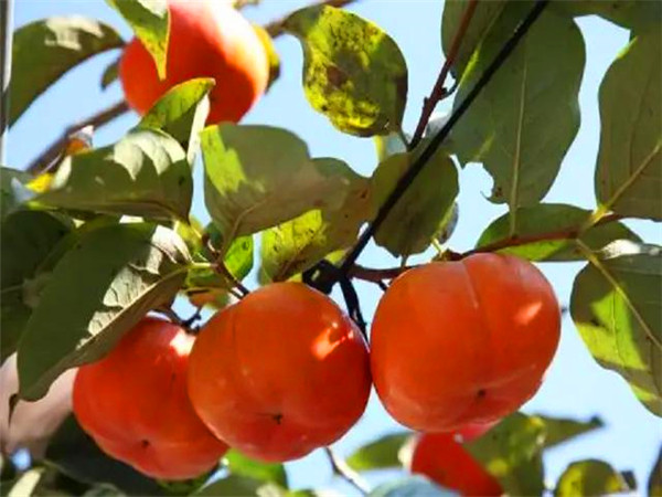 昆明柿子苗基地