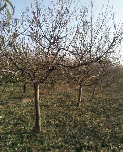 河北7公分占地桃树批发价格