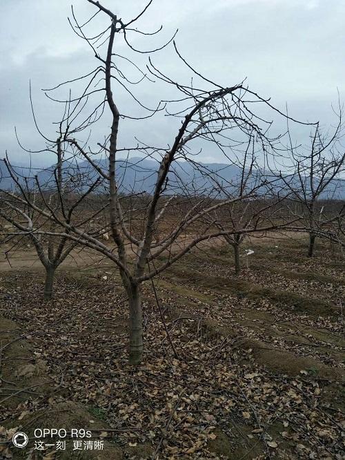 15公分苹果树批发价格
